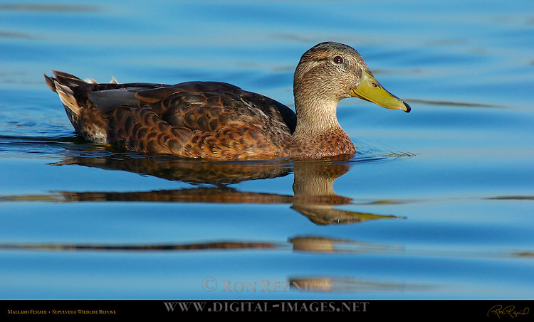 Mallard Female, Hen, Sepulveda Wildlife Refuge, Southern California