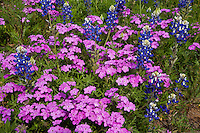Closeup of Spring Bluebonnets and Pink Phlox Wildflowers Texas Hill Country, Texas, USA.
