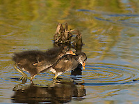 559500016 common gallinules gallinula galeata or common moorhens gallinula chloropus wild texas.Chicks in Pond.Anahuac National Wildlife Refuge, Texas