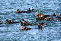 Sea otters (Enhydra lutris) at Elkhorn Slough in Moss Landing, California.