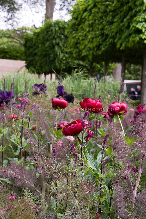Red Peonies Paeonia, Astrantia in bloom, irises flowers with purple bronze Fennel herb Foeniculeum in spring bloom flowers
