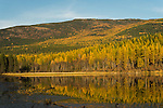 Golden tamarack trees reflecting onto Brush lake in North Idaho