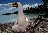 """A masked booby protects its chick. The largest purchase to date for the Nature Conservancy is the Palmyra an atoll situated about 300 miles north of the equator.  Palmyra has five times as many coral species as the Florida Keys and three times as many as Hawaii.  It is home to the world's largest invertebrate, the rare coconut crab, and a population of red-footed booby birds second only to that of the Galapagos.  It is the last marine wilderness area left in the U.S. tropics and is home to the last remaining stands of Pisonia grandis beach forest in the world.  Palmyra was a US Navy supply base in World War II, the site of a proposed nuclear waste dump, an unsuccessful coconut plantation and of various development schemes.  Palmyra is most famous for the 1974 slaying  of a married couple which became the subject of the best-selling book """"And the Sea Will Tell,"""" by Vincent Bugliosi."""