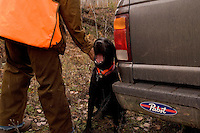 A hunter scratches a yawning black labrador retriever near his truck prior to hunting grouse and woodcock near Gwinn Michigan.