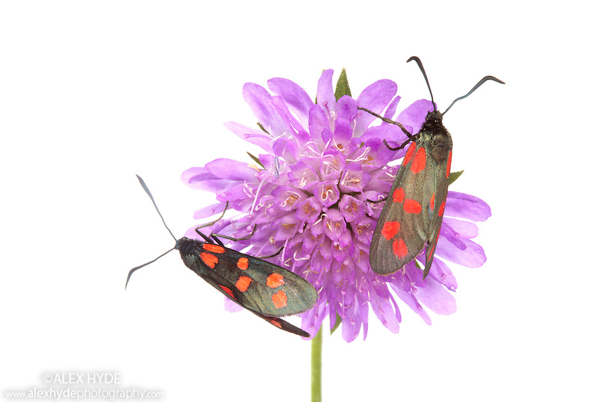 6-spot Burnet (Zygaena filipendulae) photographed on a white background in mobile field studio. Nordtirol, Tirol, Austrian Alps, Austria. August.