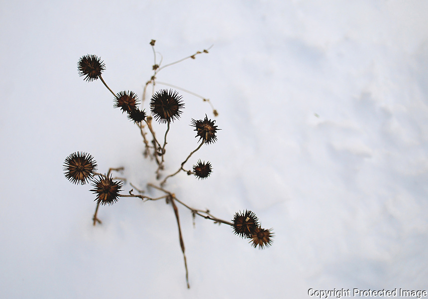 Dead flowers buried by the snow.