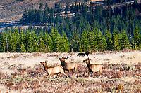Black Wolf stalking elk in Yellowstone National Park