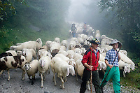 Neustift im Stubaital, Stubaier Hohenweg, Tirol, Austria, September 2008.  Shepherds guide their sheep down the mountain during the annual 'Almabtrieb', This event marks the end of the summer. Hiking the Stubai High Trail from hut to hut in the southern Alps, we clear a mountain pass on a daily basis. Photo by Frits Meyst/Adventure4ever.com.
