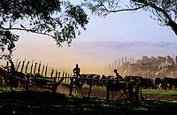 Cowboys working the cattle herd on Parker Ranch, Waimea (Kamuela), Island of Hawaii