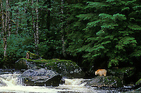 Kermode Black Bear (Ursus americanus kermodei) standing along small salmon stream on Princess Royal Island, British Columbia.  Sept.  Note:  It was pouring down rain when this photo was taken.