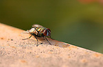 Green Bottle Fly, Blowfly, Lucilia, Southern California
