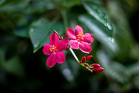 Pink tropical flower with rain drops on petals, Tauono's Garden, Aitutaki Island, Cook Islands.