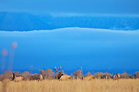 Elk Herd, rutting season, Grand Teton National Park