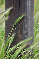 Foxtails bending in the breeze grow near a fence post.