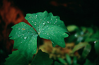 WATER DROPS IN NATURE<br /> (Variations Available)<br /> Water Drops On Leaves<br /> The oxygen end of water has a negative charge and the hydrogen end has a positive charge. The hydrogens of one molecule are attracted to the oxygens from other molecules. This attractive force is called cohesion
