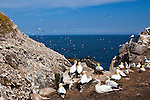 Gannet colony on the Catcliff, Great Saltee, one of the Saltee Islands, off the coast of Co. Wexford, Ireland. © 2011 Dave Walsh