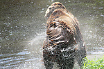 Foto: VidiPhoto<br /> <br /> RHENEN - Vrijheid voor Maria. Na 21 jaar eenzame opsluiting kan de Bulgaarse berin Maria eindelijk genieten van haar vrijheid. Donderdag werd het dier losgelaten in het Berenbos van Ouwehands Dierenpark. Voorlopig nog zonder contact met medebewoners van het Berenbos. Die zijn tijdelijk verplaatst naar de buitenring. Het eerste uur liep Maria nog zenuwachtig korte rondjes, todat haar vermoeide lichaam de vijver ontdekt. Ondanks dat Maria nog nooit had gezwommen, liet ze zien een natuurtalent te zijn. Zodra Maria gewend is aan haar nieuwe ruimte, mag ze kennismaken met de andere beren. Maria werd enkele weken geleden door berenstichting Alertis uit Bulgarije gehaald. Tot donderdag verbleef ze in quarantaine.
