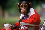 CHIMPANZEE DRESSED IN CLOTHES  TV FILM ADVERTISING SHOOT