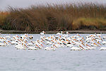 American white pelicans, San Luis National Wildlife Refuge Complex, California, USA