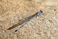 338670001 a wild male tonto dancer damselfly argia tonto perches on a concrete pad in garden canyon fort huachuca cochise county arizona united states