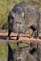 650520238 a wild javelina or collared peccary dicolyties at a pond on beto gutierrez santa clara ranch hidalgo county lower rio grande valley texas united states
