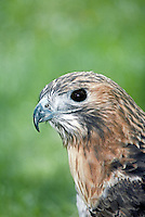 Red tail hawk, Buteo jamaicensis), looks alert and interested