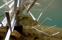 Male Rock bass guarding spawning nest under a Fish Hiding Structure.<br />