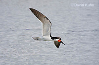 0908-0904  Black Skimmer Flying Foraging for Food (Fish), Rynchops niger © David Kuhn/Dwight Kuhn Photography