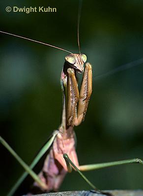 1M33-005b  Praying Mantis adult displaying in praying position - Tenodera aridifolia sinensis