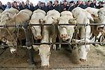 Foto: VidiPhoto<br /> <br /> BRIONNAIS - Uit heel Europa, tot in Nederland toe, komen handelaren en fokkers iedere woensdag naar Brionnais in de Franse Bourgogne voor vleeskoeien van het ras Charolais voor de slacht of om mee te fokken. Het vlees van de witte koe wordt vrijwel alleen in de omgeving van Brionnais gefokt. Zowel de (gesubsidieerde) koeienmarkt (1488) als de veiling trekken bovendien jaarlijks duizenden toeristen. Met name de veiling, waarbij koper en verkoper strikt gescheiden blijven en alles electronisch verloopt, trekt veel publiek. Het fokvee krijgt een nummer, zodat anonimiteit gewaarborgd blijft, en loopt in een ring zodat de dieren goed zichbaar zijn. Iedere handelsdag wordt er voor ongeveer 1 miljoen euro omgezet op zowel markt als veiling (200 stuks slachtvee en 1000-1400 fokdieren). Ondanks de exclusiviteit van het ras, neemt echter de vraag en daardoor de prijs van het vlees de laatste jaren af. Volgens het veilingbestuur heeft ook de Charolais te lijden van de gevolgen van de Europese vleesfraude, ondanks de strenge richtlijnen en medische controles ter plaatse. In 2015 was er sprake van een absoluut dieptepunt. Op dit moment trekt de prijs iets aan.