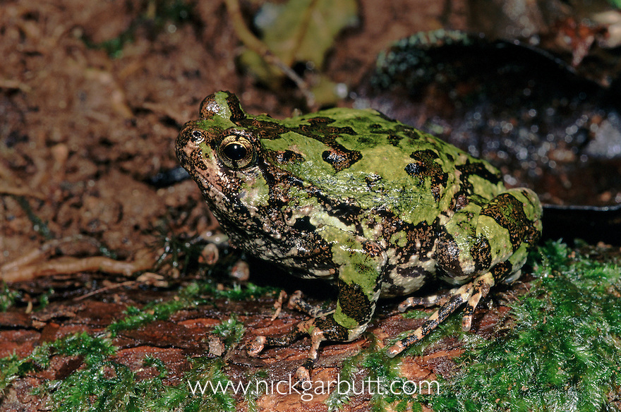 Warty Green Burrowing Frog (Scaphiophryne marmorata) singing at night. Mid-altitude rainforest, Andasibe-Matadia National Park, eastern Madagascar.