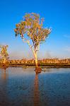 Lone tree, Yellow Waters sunset, Kakadu National Park, Northern Territory