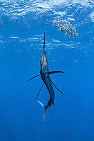 RG42392-D. Atlantic Sailfish (Istiophorus albicans) feeding on Spanish sardines (Sardinella aurita). Gulf of Mexico, Mexico, Caribbean Sea.<br /> Photo Copyright &copy; Brandon Cole. All rights reserved worldwide.  www.brandoncole.com