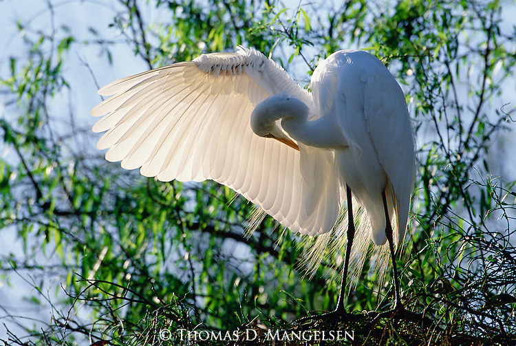 A male egret in full breeding plumage gracefully extends his swing as he grooms his plumage in Everglades National Park, Florida.