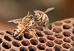 Queen being grooomed by worker, Honey Bee, Apis mellifera, Kent UK, on honeycomb cells from inside hive