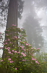Rhododendrons and redwoods in Del Norte State Park, Redwood National Park, California
