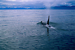 An orca surfaces as it travels the Chatham Strait in Alaska.
