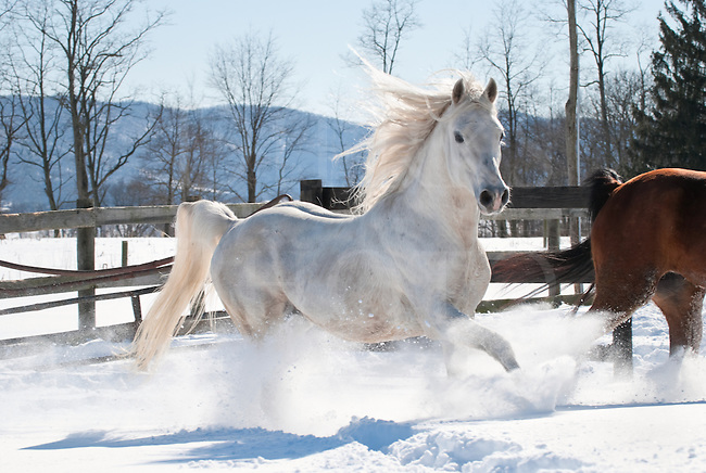 Picture of white Arabian Stallion running through new snow with mane and tail flying.