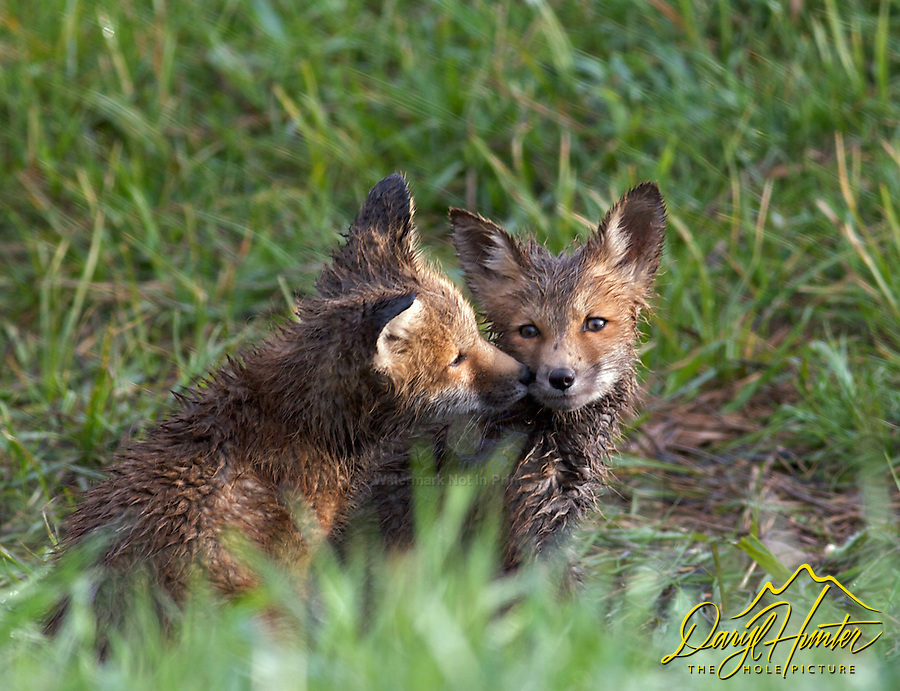 Fox Kits playing in the morning sun in Jackson Hole Wyoming