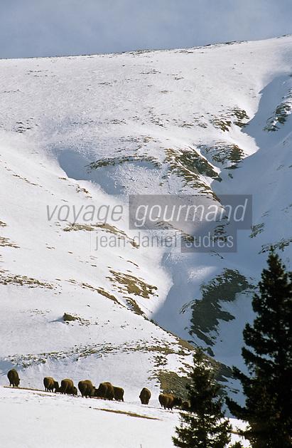 Europe/France/Rhône-Alpes/74/Haute-Savoie/Megève: Les bisons de Dominique Méridol au domaine de la Sasse