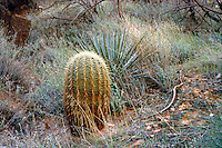 CACTUS FERO <br /> Barrel Cactus And Agave<br /> The pleated shape of the barrel cactus allows it to expand when it rains and store water in its spongy tissue. It shrinks in size during dry times as it uses its water. Grand Canyon
