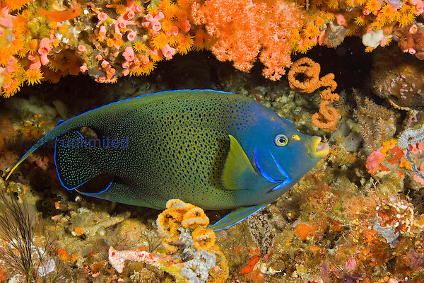 A Semicircle Angelfish (Pomacanthus semicirculatus) in a coral covered crevice, Komodo, Indonesia.