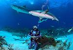 Caribbean Reef Sharks, Carcharhinus perezii, Elasmobranchii