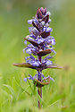 Bugle (Ajuga reptans) in flower in a damp meadow. Peak District National Park, Derbyshire, UK. May.