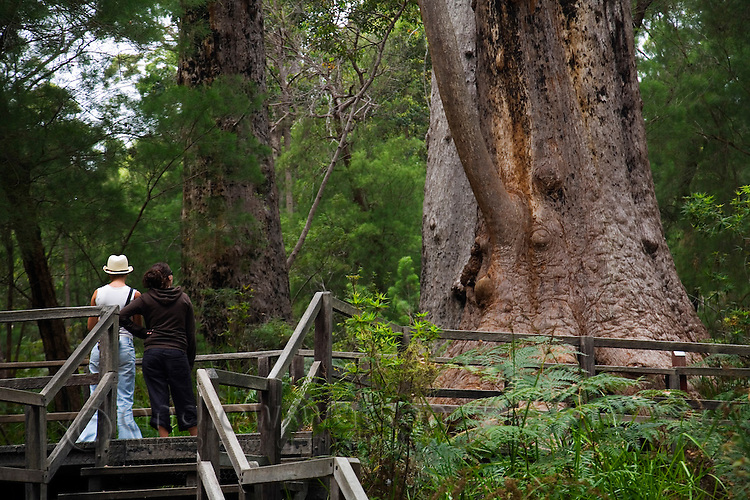 Tourists at the base of a giant tingle tree on the Ancient Empire boardwalk.  The Valley of the Giants, Walpole-Nornalup National Park, Western Australia, AUSTRALIA.