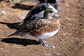 American Wigeon (Anas americana) female, San Diego, California, USA
