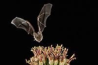 Lesser Long-nosed Bat, Leptonycteris curasoae, adult in flight at night feeding on Agave blossom (Agave spp.),Tucson, Arizona, USA