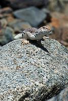 438500005 a wild desert iguana dipsosaurus dorsalis perches on a rock in darwin canyon inyo county california