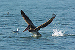Brown Pelican Takeoff, Bolsa Chica Wildlife Refuge, Southern California