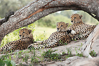 Three African cheetah relax under a tree branch, Botswana, Africa